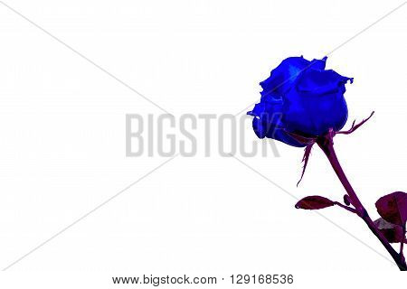 blue rose isolated on a white background in the pasteurization effect