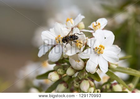 Bee Foraging with pollen on legs white flowers