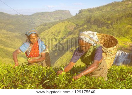 Women Tea Pickers in Sri Lanka Concept