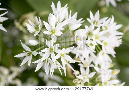 Edelweiss Leontopodium alpinum white elegant flower garden