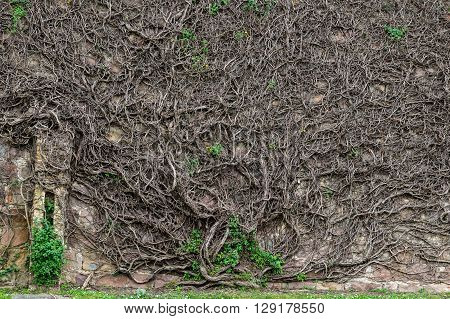 Bare Branches And Roots Of A Giant Creeper