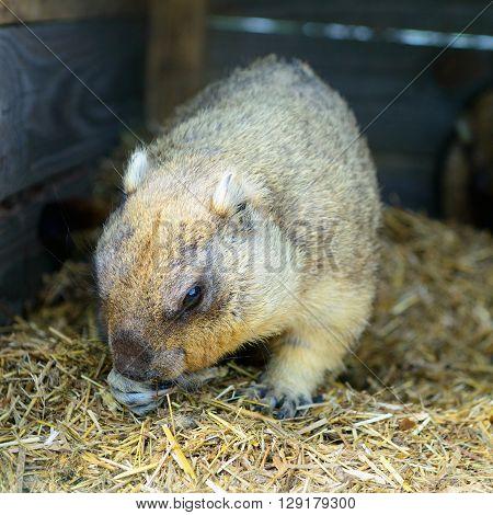 Rodent Eats Hay