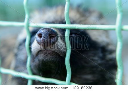 Raccoon Dog Nose