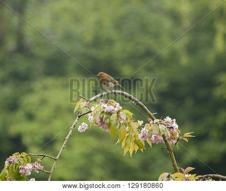 Robin on a branch of cherry blossom