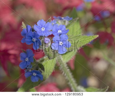 Green alkanet plant growing wild in spring