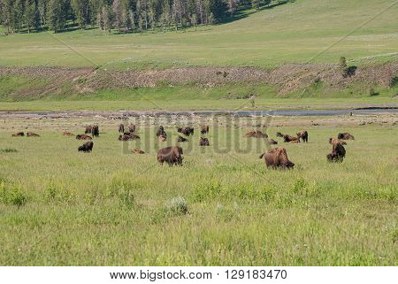 A herd of buffalo on a pasture in Lamar Valley Yellowstone National Park Wyoming USA
