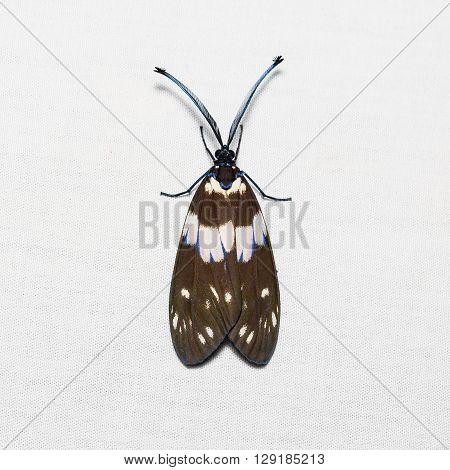 Red Slug Caterpillar Moth