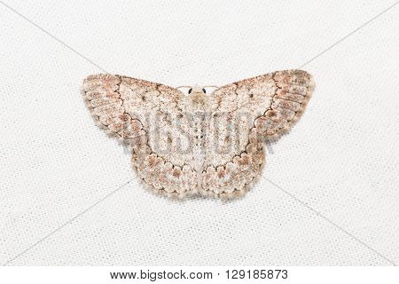 Geometrid Moth On White Screen