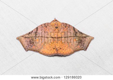 Unidentified Brown Moth