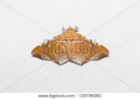Episparis Liturata Moth