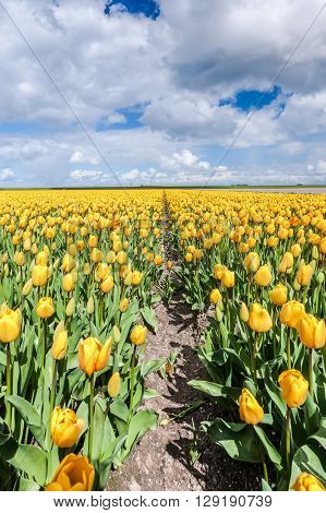 Panoramic landscape in Dutch polder with yellow tulips blue sky and big white clouds