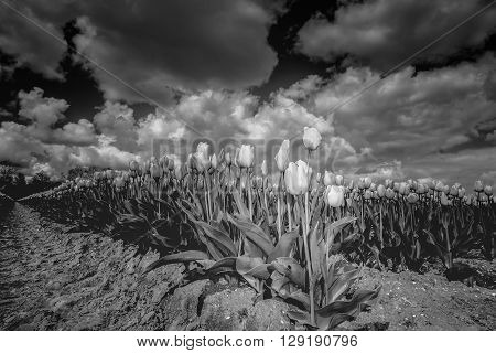 panoramic landscape in Dutch polder with tulips sky and big white clouds im black & White