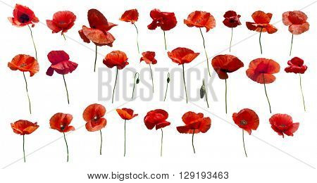 Set of flowers poppies. Isolated on white background.