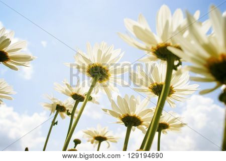 Summer field with white daisies on sky