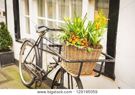 Flowers on an old bike basket in front of a window. The bike is black and very old flowers are yellow and red and the basket is made by wicker. Spring theme.