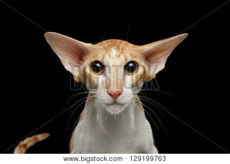 Closeup Portrait of White and Red Oriental Cat With Big Ears frightened Looking in camera Black Isolated Background
