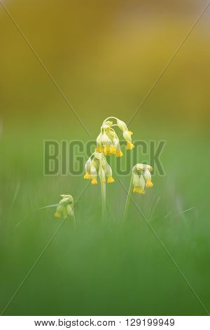 yellow flowers of Primula officinalis are growing on a green meadow in the drops of dew shiny