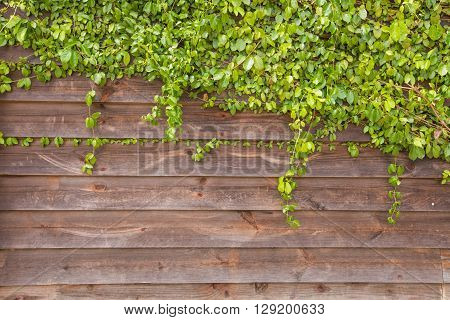 Ivy leaves draped over a bright red wooden wall.