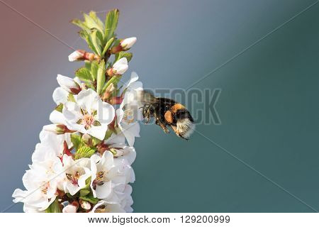 black shaggy bumblebee collects nectar from cherry blossoms in Sunny day