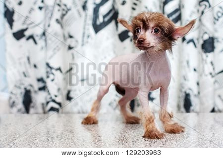 Chinese Crested Pappy