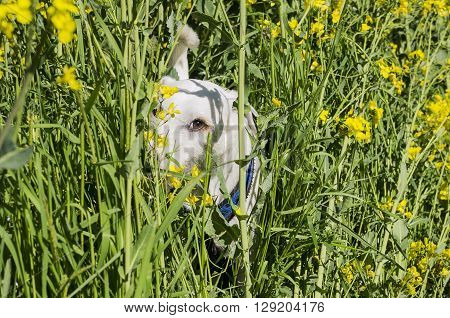 The dog hid in the grass. Germany.