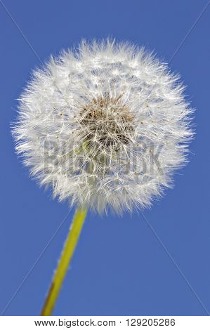 Close up of grown dandelion in the sunlight and a clear blue sky background