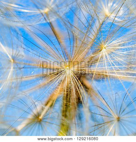 Closeup dandelion on blue sky background.