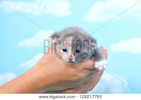 Gray and calico kitten held in young hands against blue background with clouds kitten looking forwards and downwards.