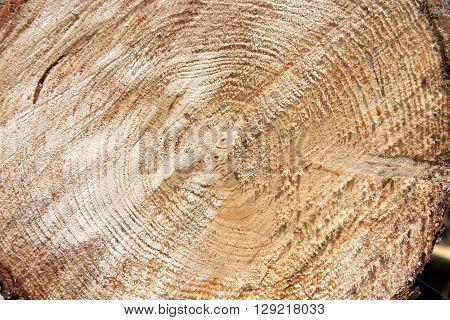 tree trunk cut with chainsaw rough edge of wood with grain showing rings in middle of tree