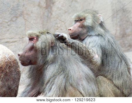 A Pair of Baboons Genus Papio Sit and Exhibit Grooming Behavior