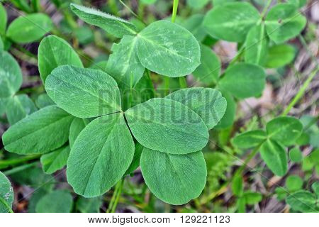 Green clover leaves on a background summer landscape. St.Patrick 's Day