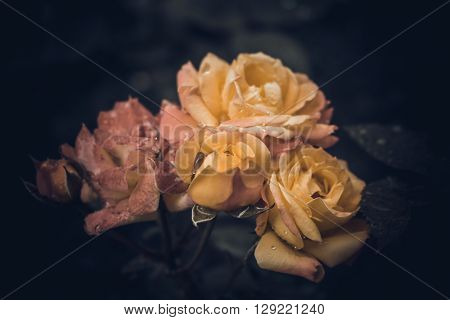 Bush red and yellow roses with dew drops in vintage colors on a dark background