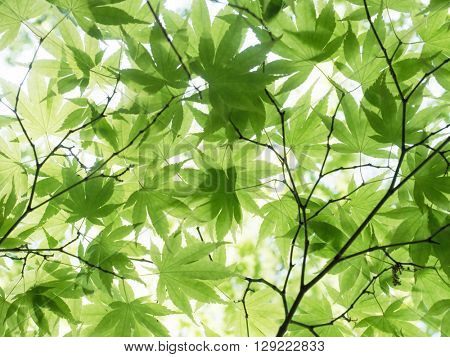 Light coming through young spring maple leafs. High key abstract background. Soft focus.