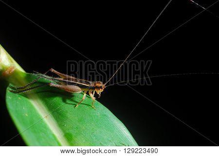 Grasshopper perching on a leaf, black background