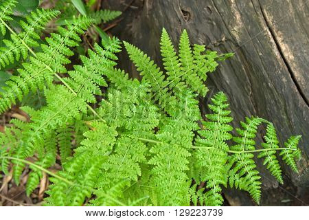 Closeup of Downy Ground Fern on old wooden log in the forest