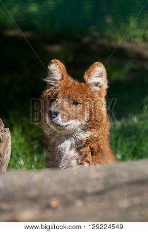 Ussuri dhole (Cuon alpinus alpinus), also known as the Indian wild dog. Wild life animal.