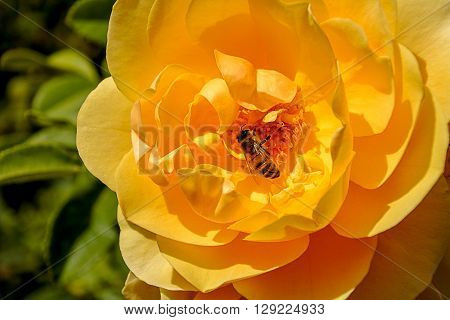 Beautiful Rosa Grandiflora 'Honey Dijon' Yellow rose with European Honeybee pollinating flower