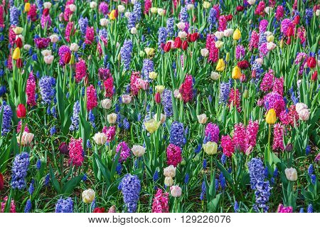 flower bed with different spring flowers like hyacinths and tulips