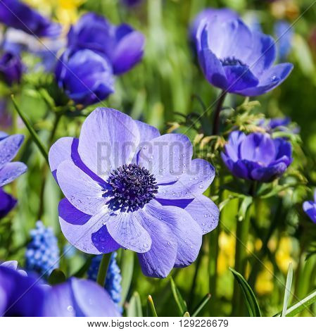 spring flower bed with blue colored anemone flowers
