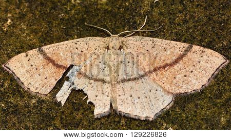 Maiden's blush (Cyclophora punctaria) after bird attack. British insect in the family Geometridae the geometer moths