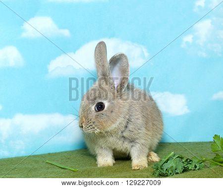 Netherland Dwarf Bunny Eating