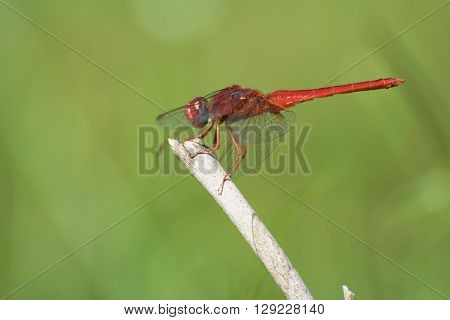 Striking Closeup of Red Skimmer or Firecracker Dragonfly.