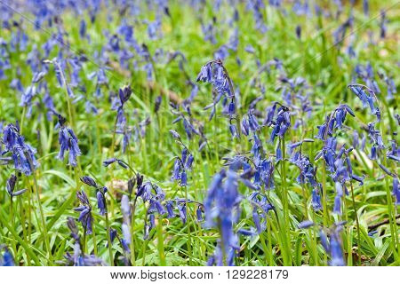 Bluebell Flowers Meadow at Spring, Floral background