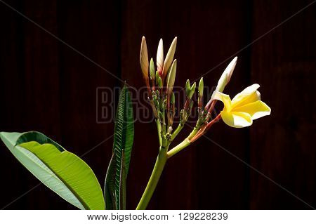 Plumeria Buds And Bloom