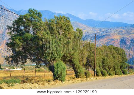 Windbreak trees which protects ranchland from the wind taken in Cabazon, CA