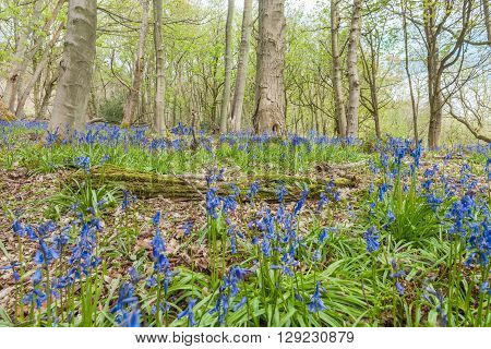 Spring Bluebell Flowers Among Maple Tree Trunks
