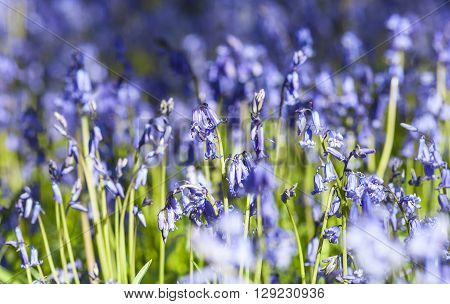 Wild Bluebell Flowers Meadow in Bright Morning Light