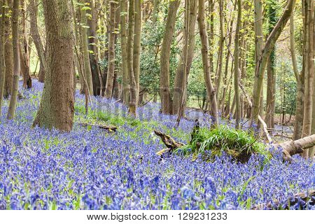 Wild Woodland Meadow With Bluebell Flowers at Spring