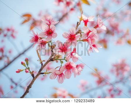 Closeup of Wild Himalayan Cherry (Prunus Cerasoides) on Blue Sky Background at Khun Chang Kian Chiang Mai Thailand.