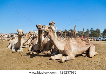 DARAW, EGYPT - FEBRUARY 6, 2016: Camels at Camel market.